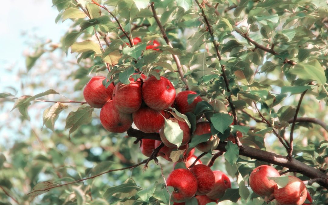 Tree Fruit Worker and Union Sue U.S. Department of Labor for Changing Harvest Piece Rate Wages to Far Lower Minimum Wage